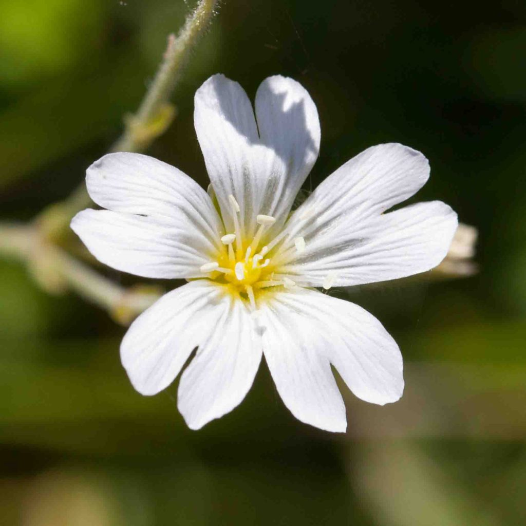 Chickweed, Field Mouse-ear