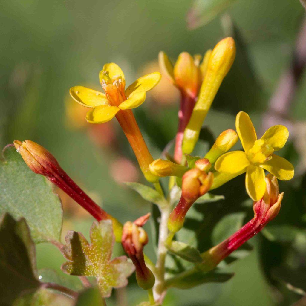 Grossulariaceae Currant Monflora