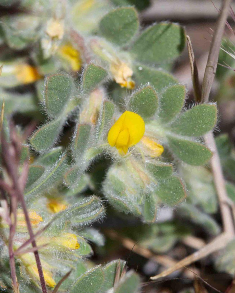 Fabaceae Acmispon Monflora