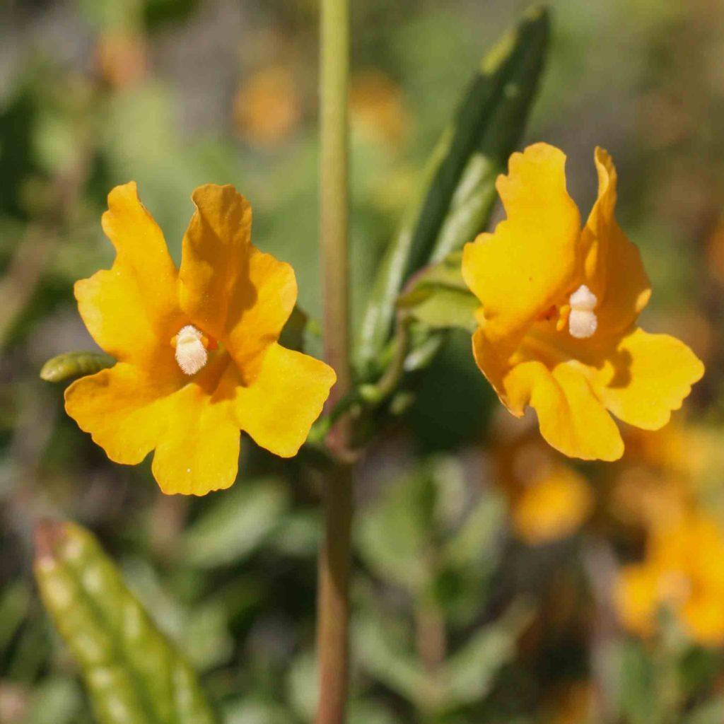 Phrymaceae Monflora