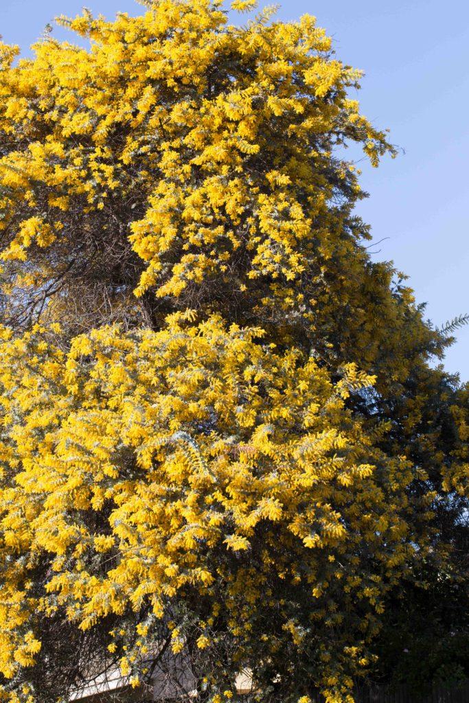 Tree Acacia Monflora