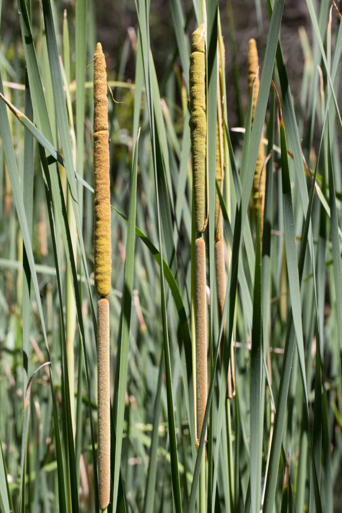 Cattail, Narrow-leaved