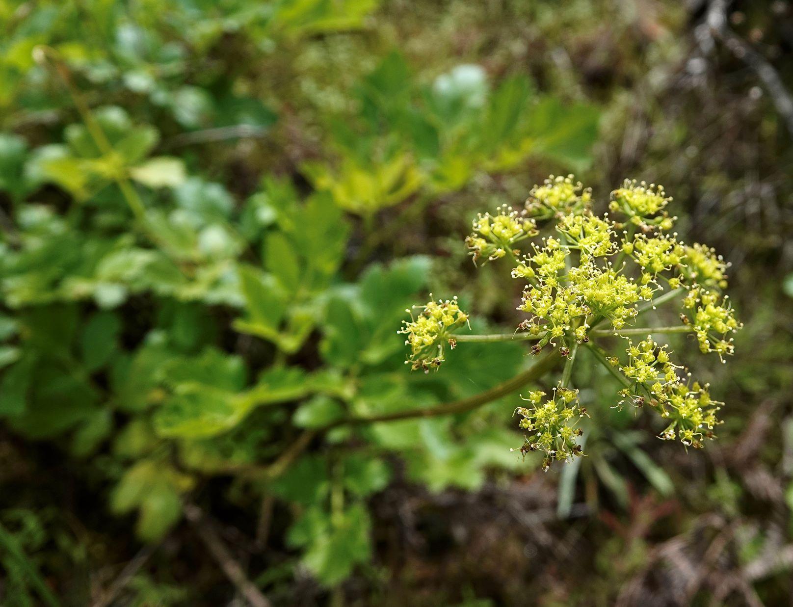 Lomatium, California