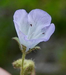 Nemophila, Meadow (Ft. Ord type)