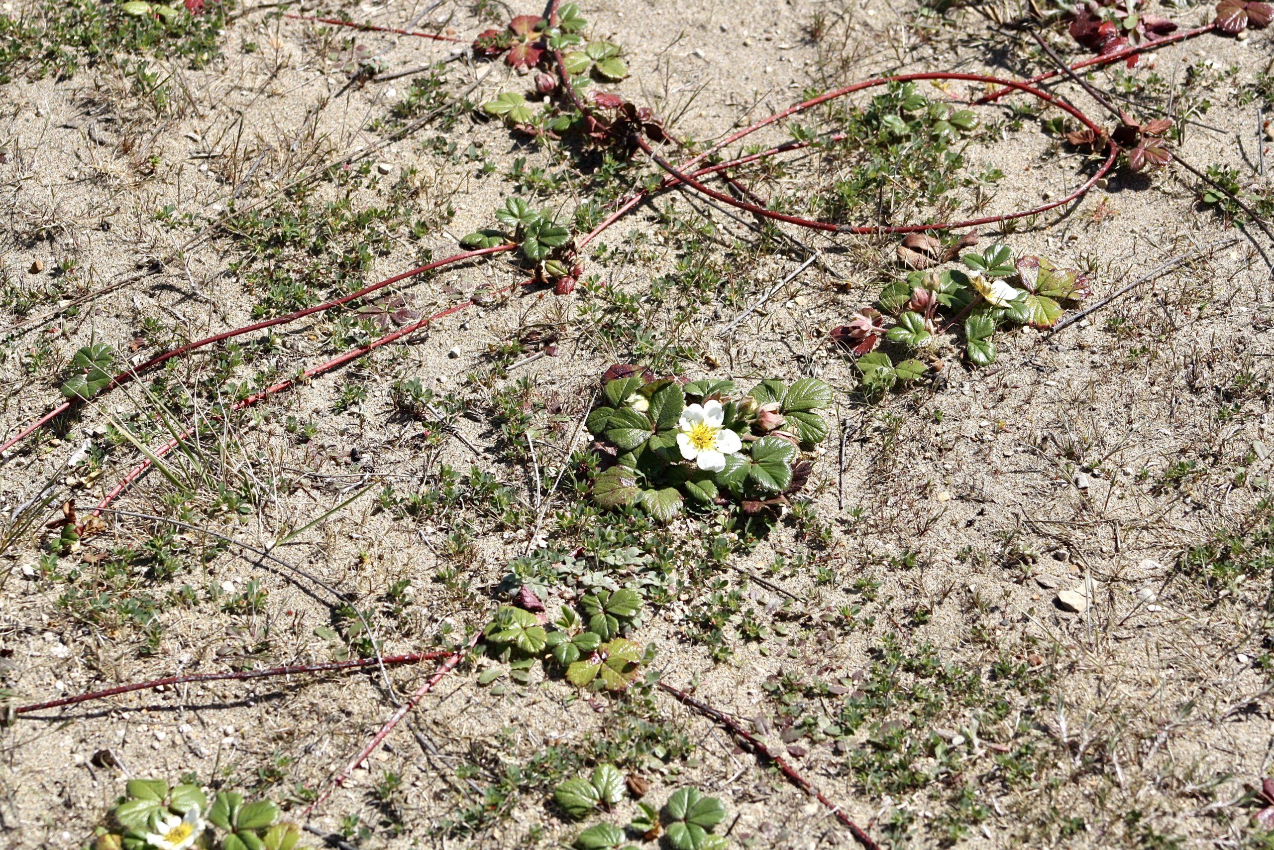 Fragaria chiloensis
