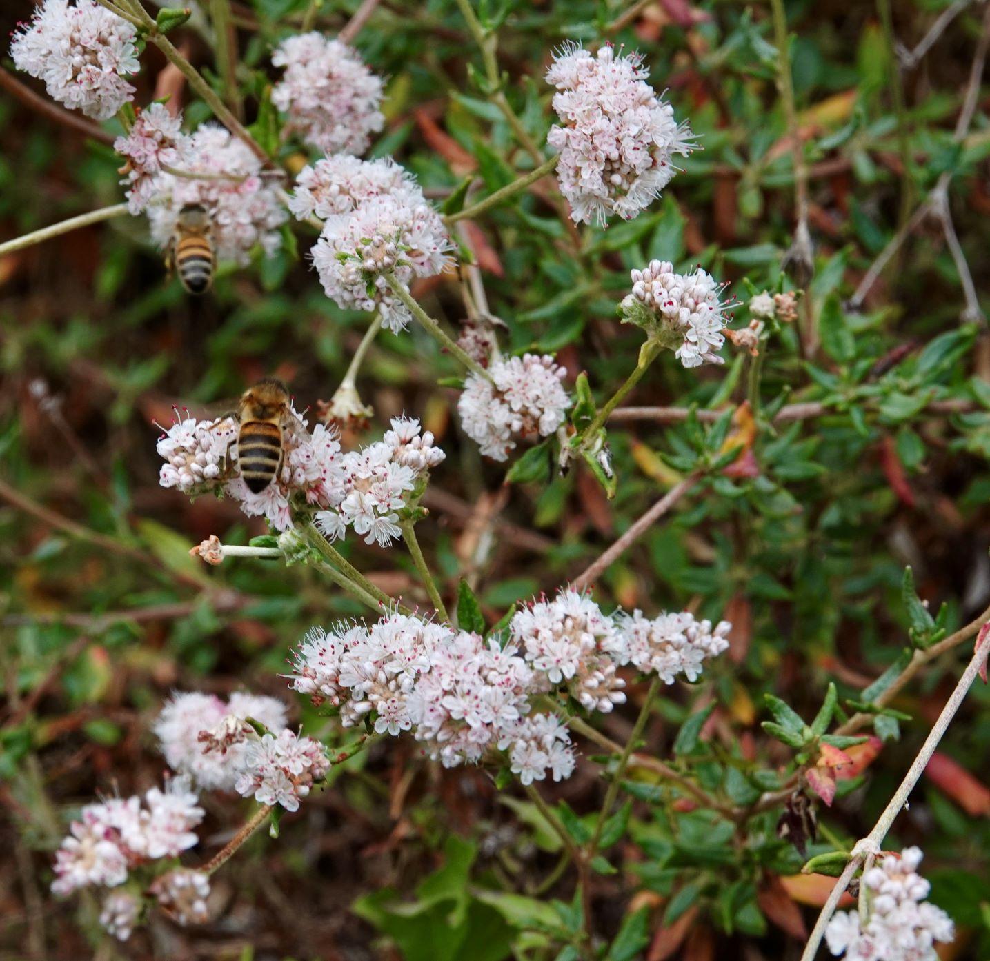 Buckwheat, Seacliff Wild