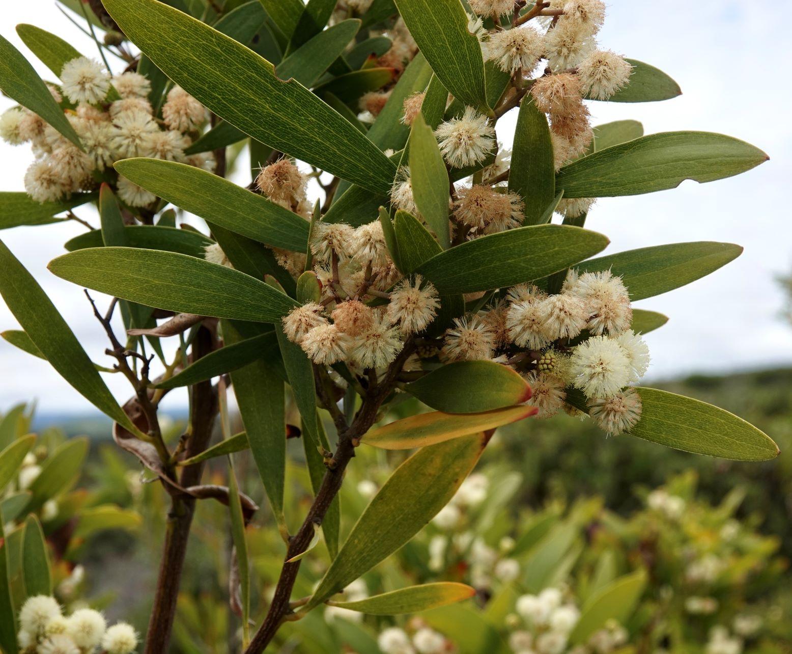 Acacia, Blackwood