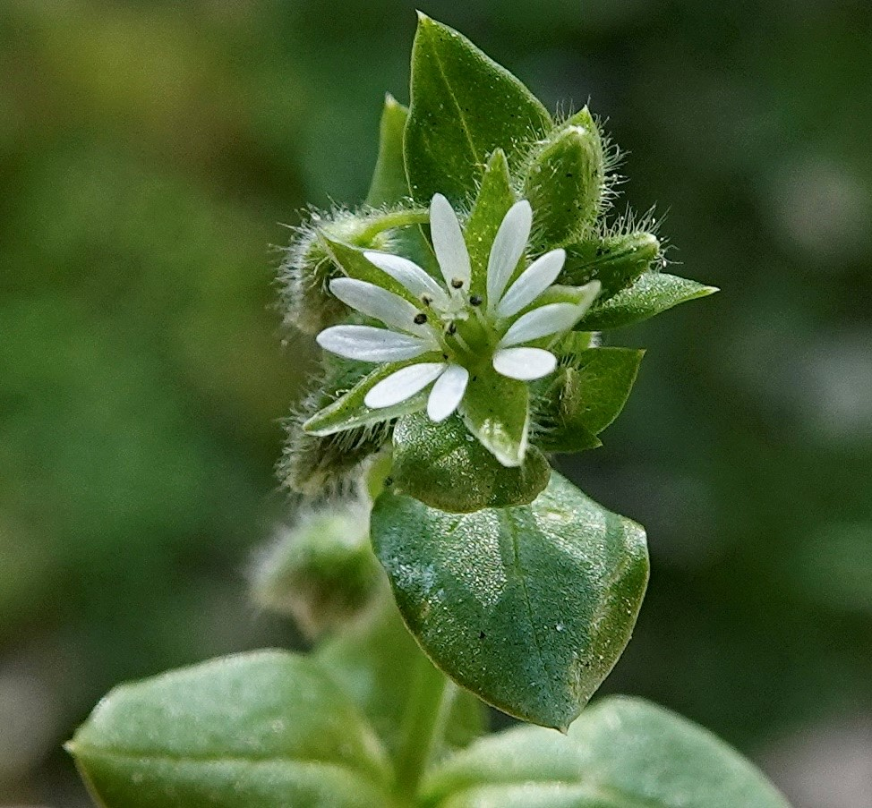 Chickweed, Sticky Mouse-ear