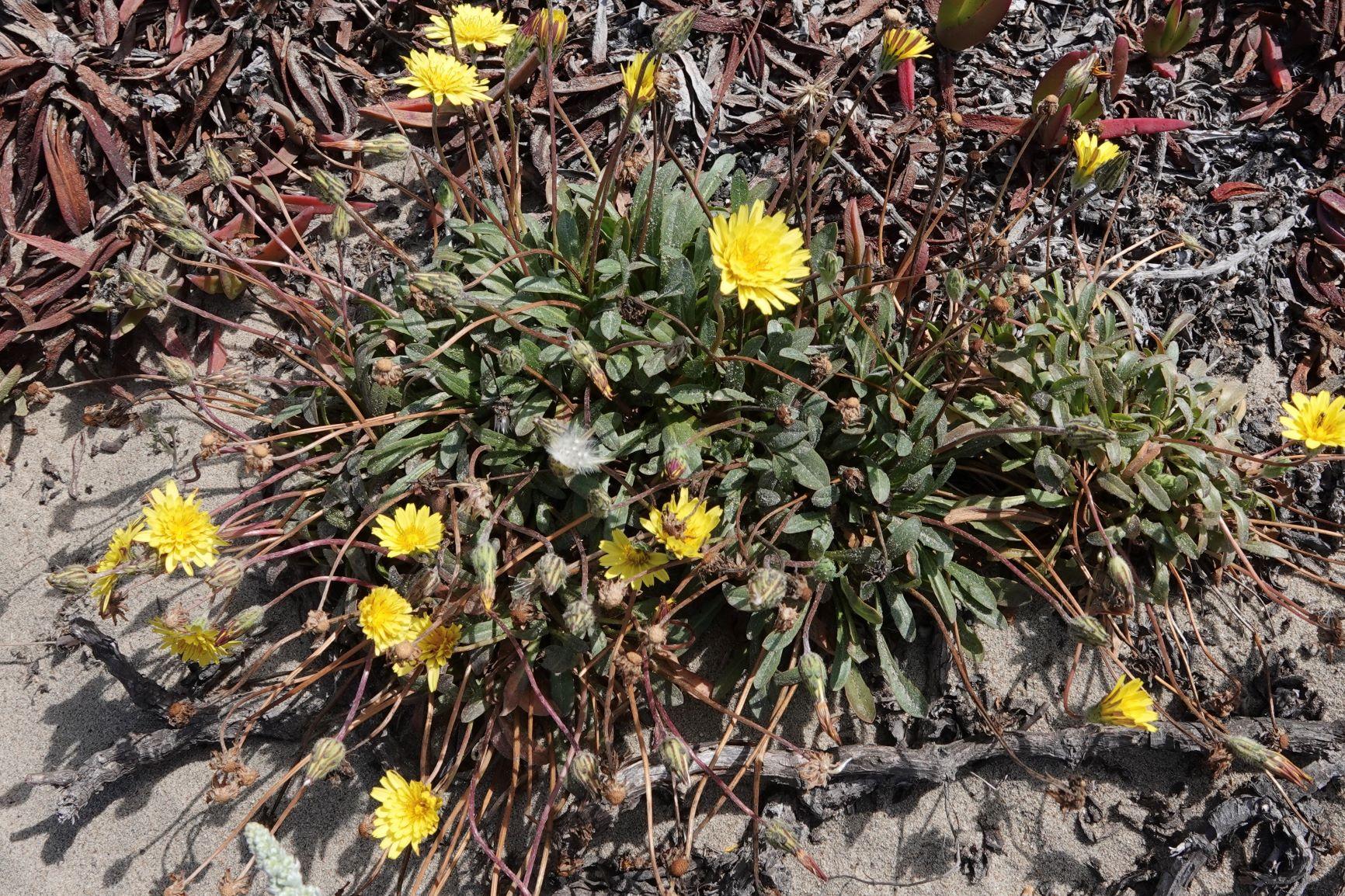 Dandelion, Seaside