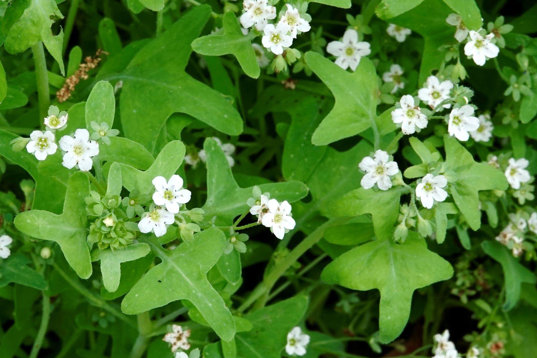 Fiesta Flower, White
