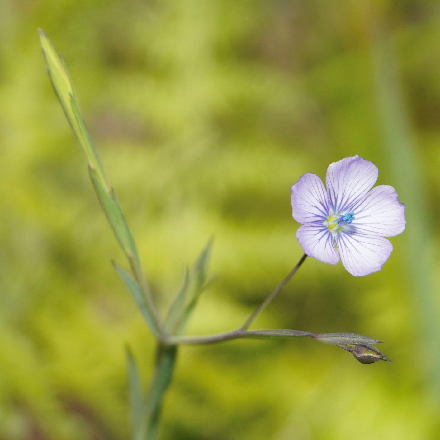 Flax, Narrow-leaved