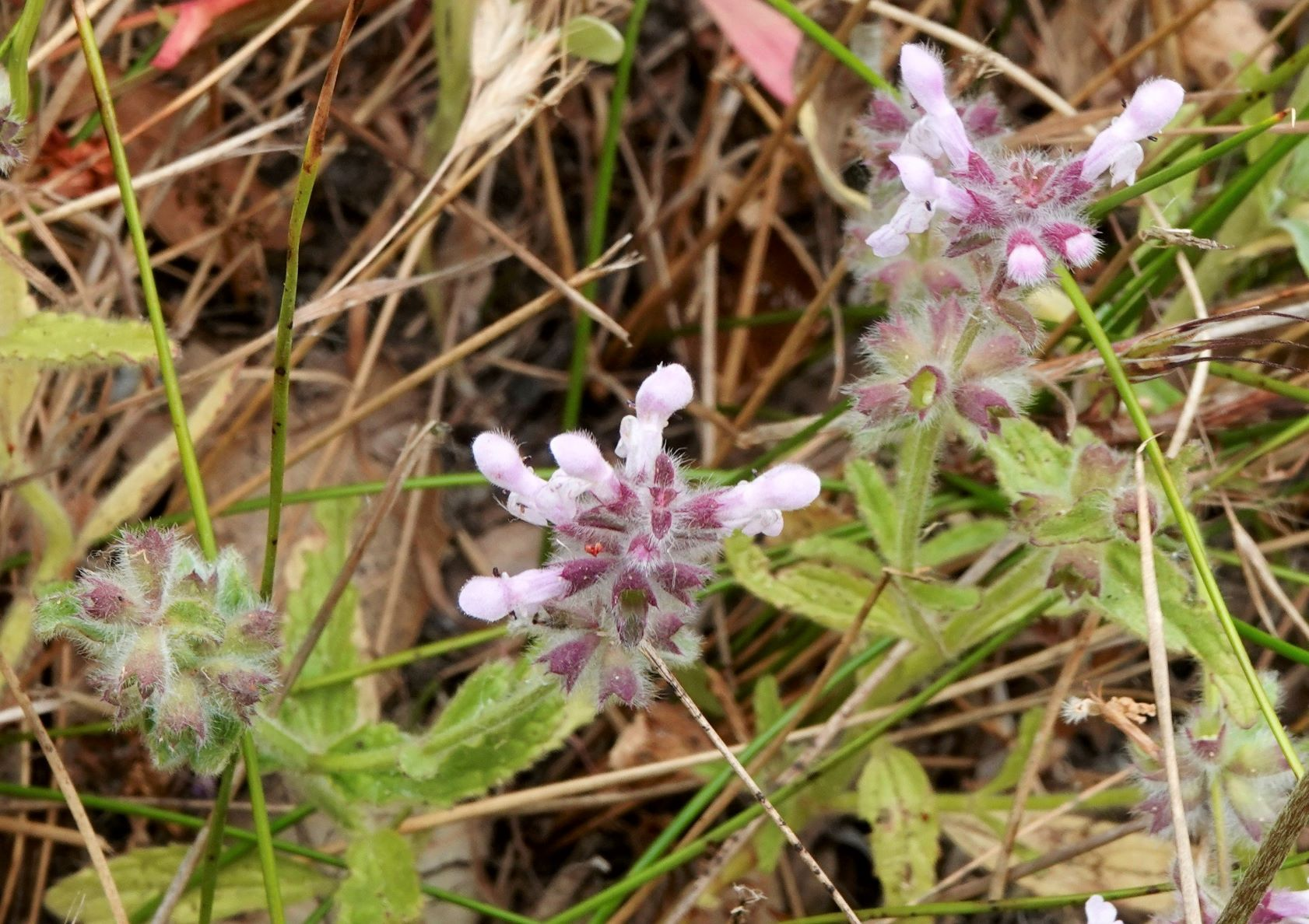 Hedge-nettle, Bugle