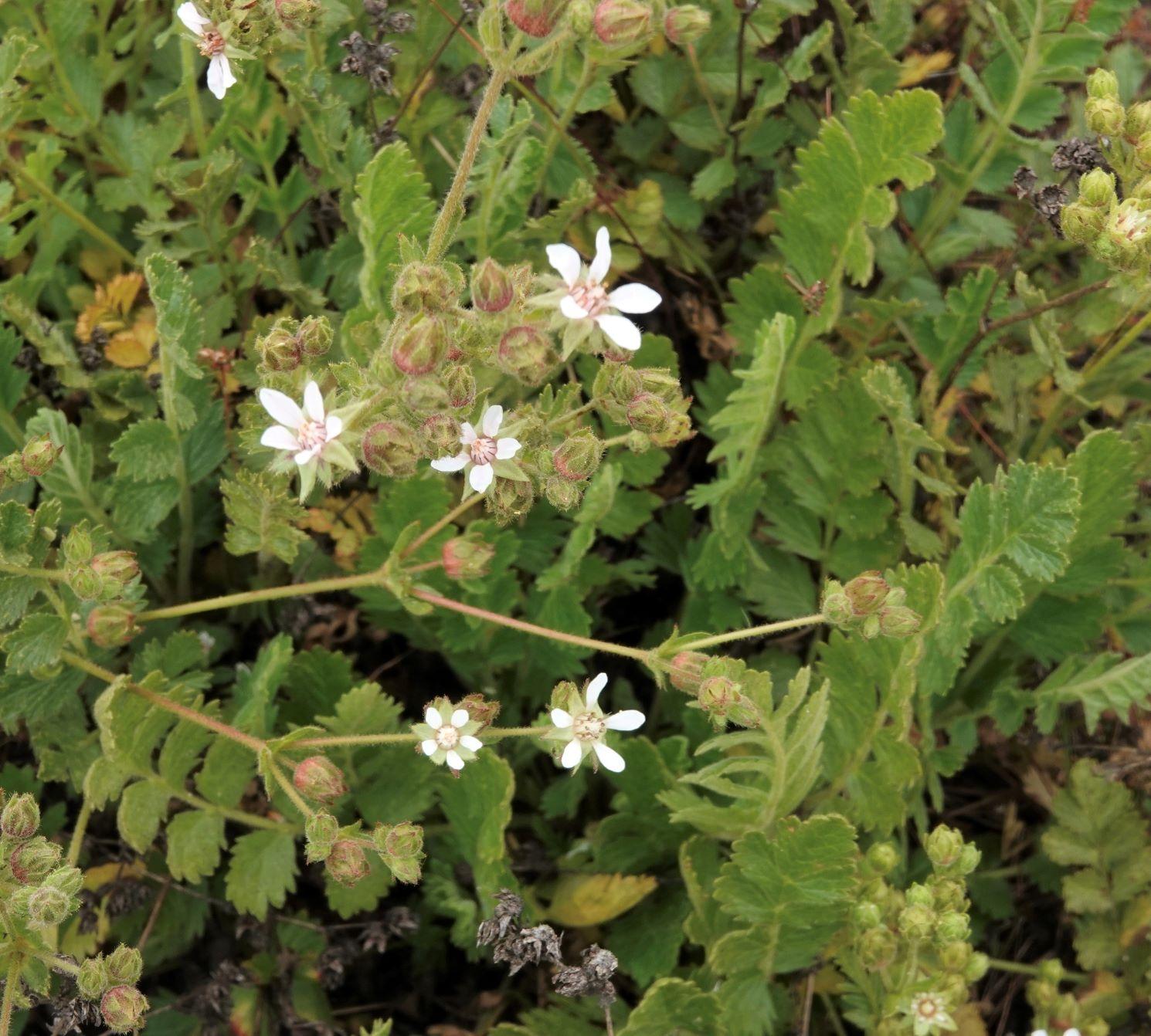 Horkelia, Wedge-leaved