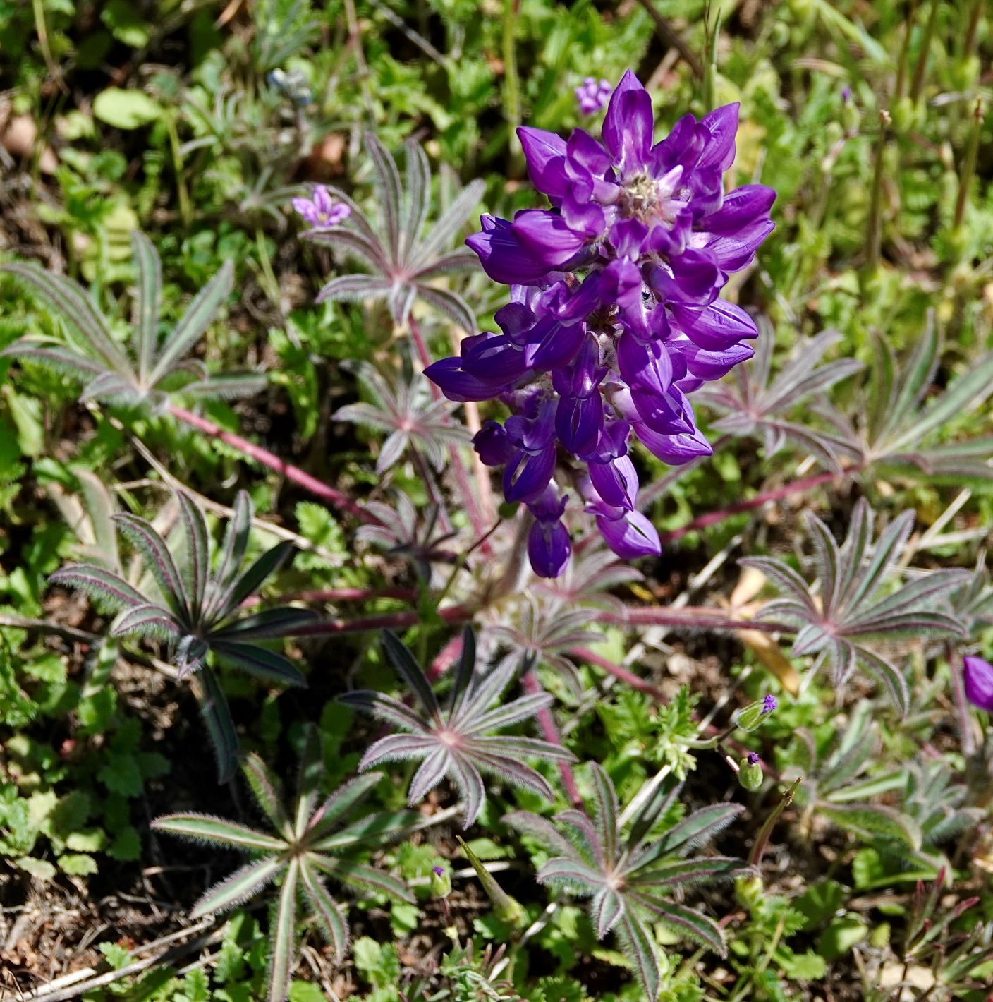 Lupine, Valley