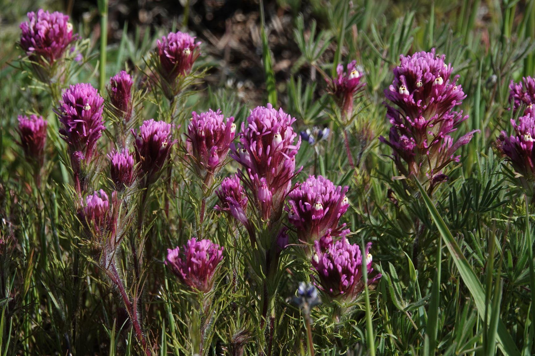 Owl's-clover, Purple