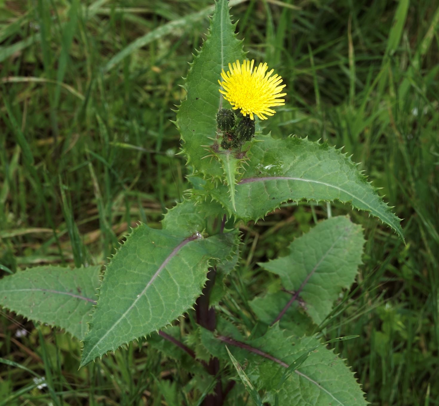 Sow-thistle, Prickly