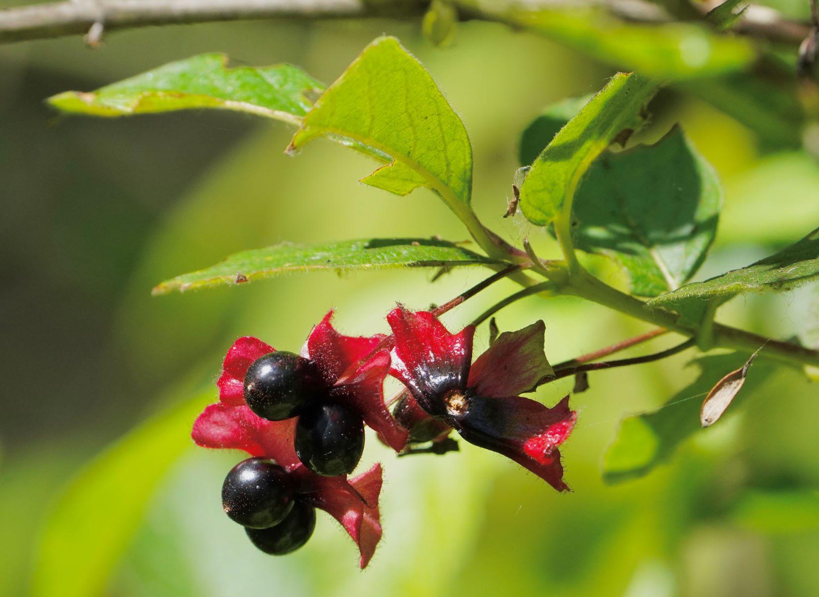 Twinberry, Black