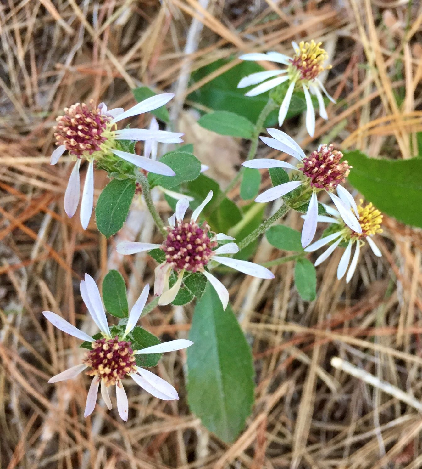 Aster, Rough-leaved